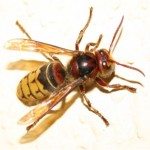 European Hornets Removal, Hornet Nest Removal