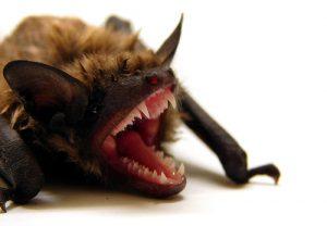 Bat Removal / Bat Control / Bat Exclusions