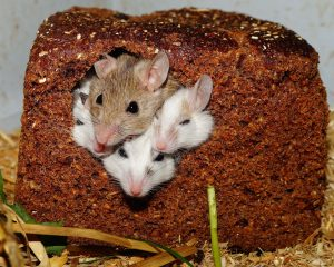 Critter / Rodent Removal & Exclusions / Preventions in Madison, Milwaukee & Janesville area.